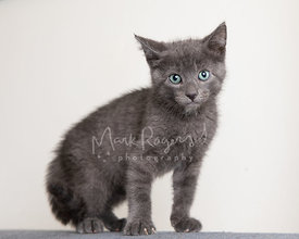 Grey kitten with serious expression against white background