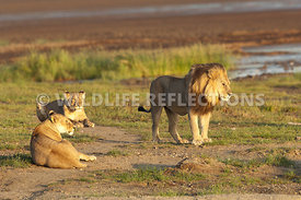 lion_and_two_lionesses_morning_light