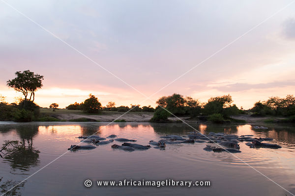 Hippopotamus at sunset in the Grumeti River (Hippopotamus amphibius), Serengeti National Park, Tanzania