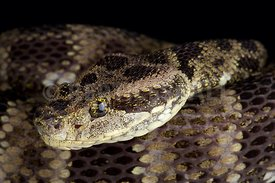 Speckled Forest Pit Viper (Bothrops taeniatus taeniatus)