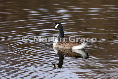 Canada Goose (Branta canadensis), Lake District National Park, Cumbria, England