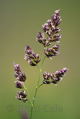 Flowering grass (sp.) on a farm in New York