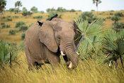 African elephant eating borassus palm leaves, Loxodonta africana africana, Murchison Falls National Park, Uganda