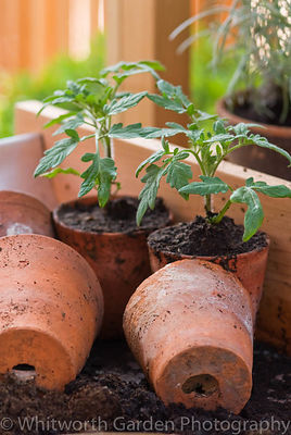 Tomato seedlings in terracotta pots. © Jo Whitworth