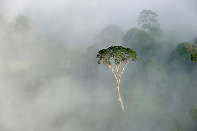 Emergent Menggaris Tree / Tualang (Koompassia excelsa) protruding from mist and low cloud hanging over lowland rainforest. Da...