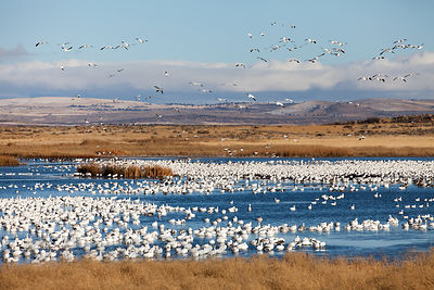 Snow Geese (Chen caerulescens) in the wetlands of the Tule Lake NWR, California
