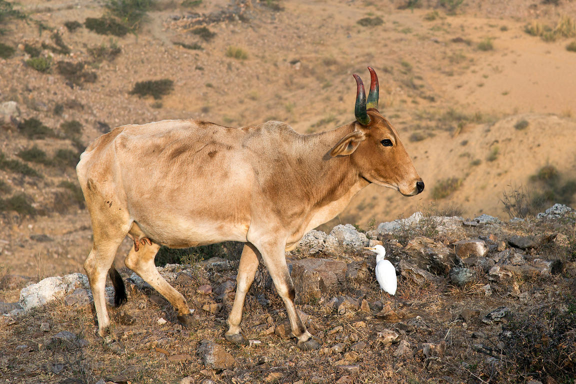 Revered cow with painted horns and a cattle egret, in the mountains above the Bedhnath temple area, Rajasthan, India