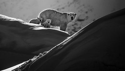 3363-Polar_bear_with_cubs_Baffin_Island_Canada_2016_Laurent_Baheux