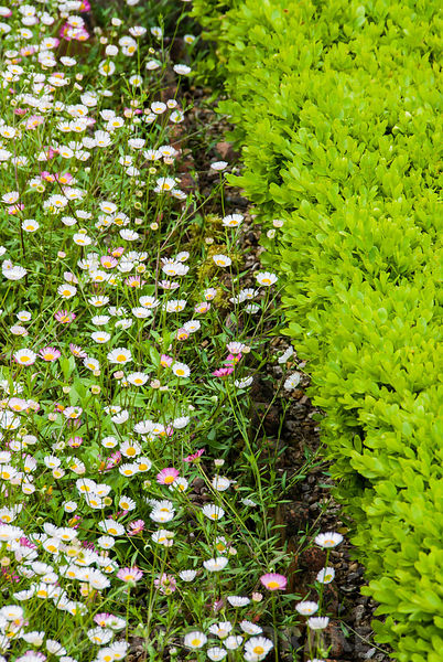 The terrace at Cothay Manor, Somerset covered with self seeded Mexican daisy, Erigeron karvinskianus, filling one part of a k...
