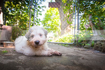 white dirty puppy dog resting on sidewalk in yard near fence gate
