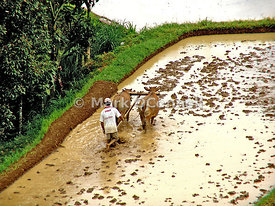Working the rice fields Bali