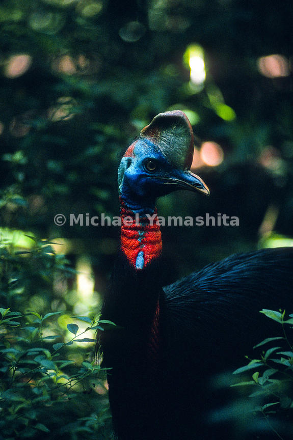 Northern Cassowary, .Baiyer River, Western Highlands.Papua New Guinea