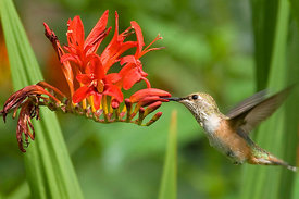 May - Rufous Hummingbird
