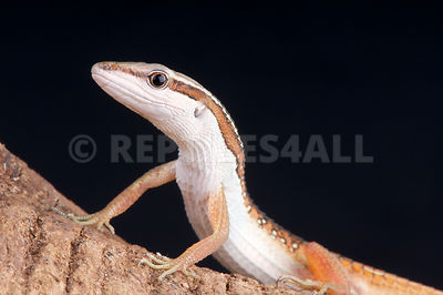 Occelated grass lizard (Takydromus sexlineatus occelatus) photos
