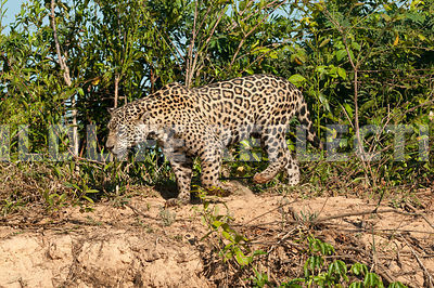 jaguar_riverbank_stroll-13