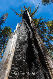 Tree Trunk Charred by a Forest Fire in Lassen Volcanic National Park