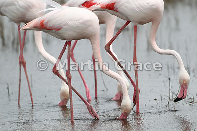 Flamingo Symmetry