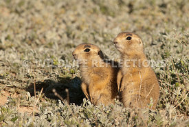 utah_prairie_dog_siblings_together