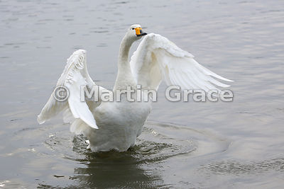 Wild Whooper Swan exercising its wings (Cygnus cygnus), Tjornin City Pond, Reykjavik, Iceland