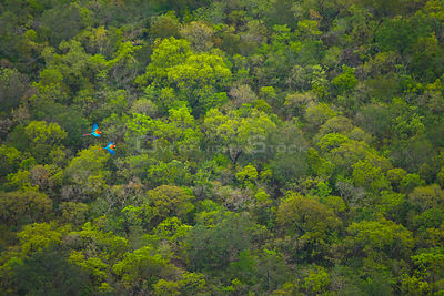 Looking down on Green winged macaw (Ara chloropterus) pair flying above canopy,  Brazil