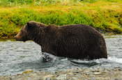 Female Grizzly Wading In Salmon Run Katmai National Park Alaska