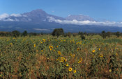 Sunflower field in front of Mount Kilimanjaro, Kenya
