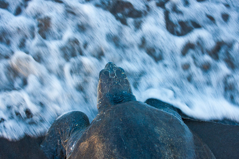 Female Olive Ridley turtle (Lepidochelys olivacea) returning to the sea after nesting, Nancite Beach, Santa Rosa National Par...