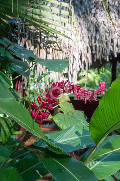 Alpinia purpurata, gingembre d'ornement, rouge