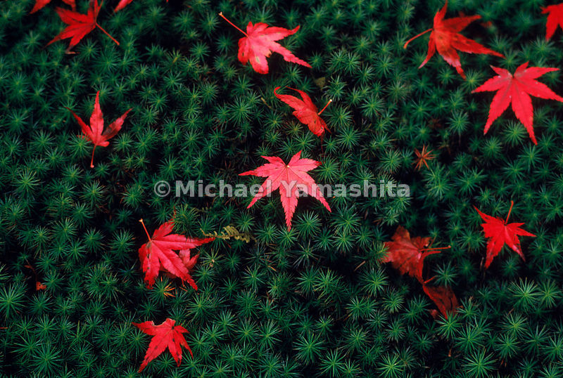 Japanese Garden- at Sanzen-in in Kyoto, fallen maple leaves on a blanket of sukigoke moss serve as reminders of the cycles o...