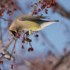 Cedar Waxwing wildlife photos