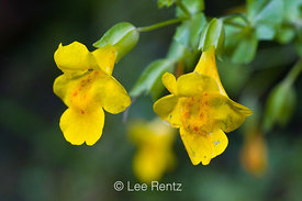 Mimulus guttatus Flowering in Columbia River Gorge