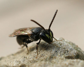 Hylaeus species ( to id.)
