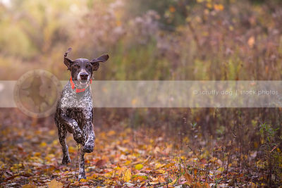 brown roan gundog running on trail in autumn leaves