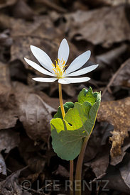 Bloodroot Blooming at Great Serpent Mound