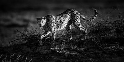 Cheetah hunting in the bush, Kenya 2015 © Laurent Baheux