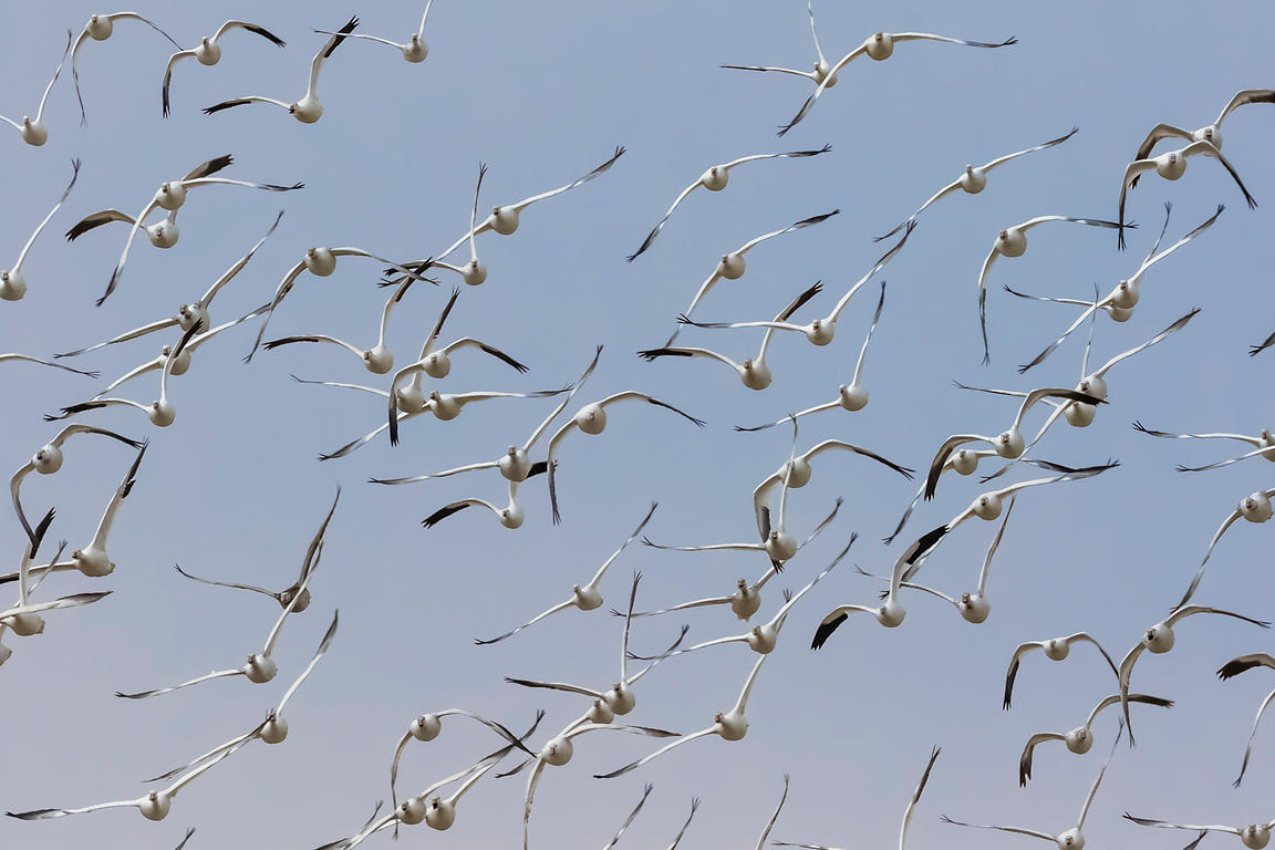 Snow Goose Flock in Flight over the Platte River