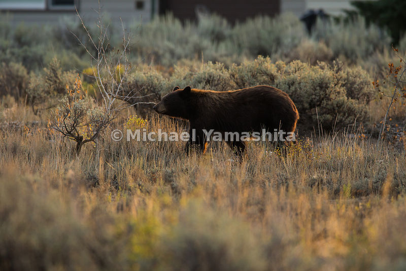 Black bear on Moose Wilson Road. Grand Teton National Park, Wyoming...Jagged peaks of the Teton Range, lush meadows, dense fo...