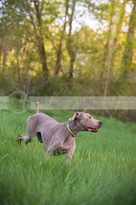 lean grey gundog running turning in meadow