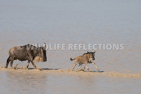 wildebeest_lake_crossing_sequence_02242015-109