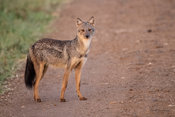 Side-striped jackal, Canis adustus, Kidepo Valley National Park, Uganda