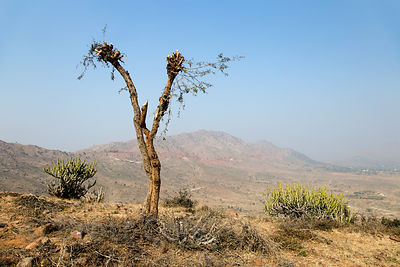 Tree with branches cut for fuel and goat fodder, Ajaypal, Rajasthan, India