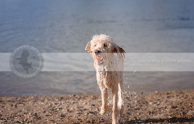dripping wet cross breed dog fetching ball on lake shore beach