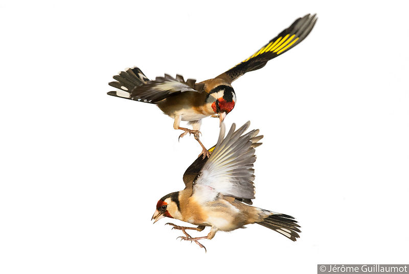 "Goldfinch - ""Touched !"""