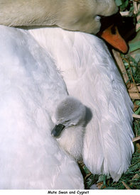 May and June - Mute Swan with cygnet