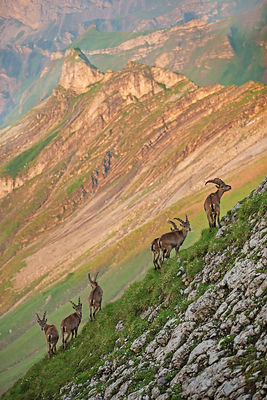 Alpine ibex (Capra ibex) group of six young males,   Bernese Alps, Switzerland, July.