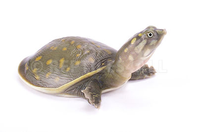 Spotted flapshell turtle (Lissemys punctata andersoni)
