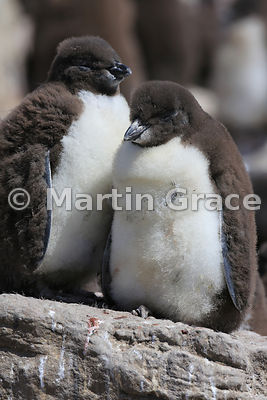 Two Southern Rockhopper Penguin (Eudyptes chrysocome chrysocome) chicks, still down-covered, Cape Coventry, Pebble Island
