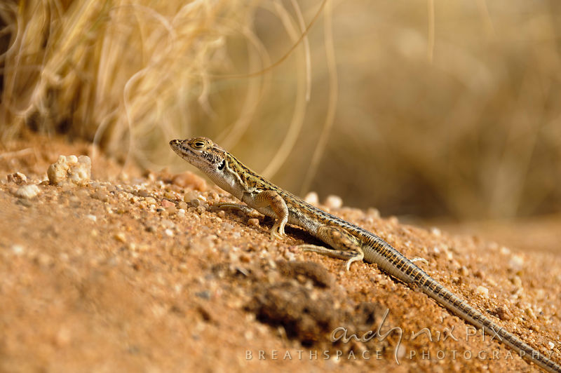 A close-up of a Plain sand lizard (Pedioplanis inornata) standing on the sand in a desert