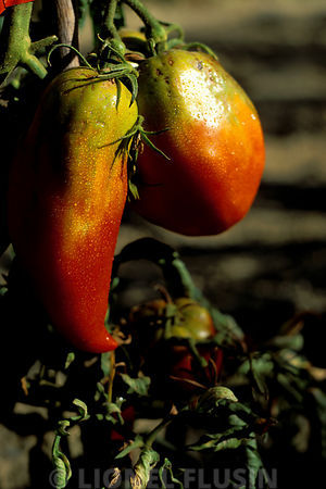 Les tomates à Roger : Aout 2001..Tomate Andine rouge