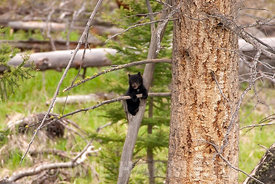 Hanging_Out_BlackBear_Cub_FinWH